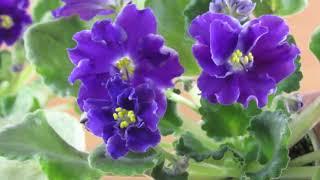 Разное цветение фиалки одного сорта