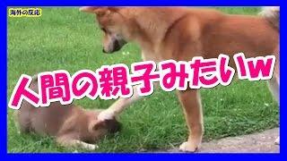 【海外の反応】外国人「子犬を落ち着かせようと頑張る柴犬」→「人間の親...