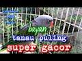 Nuri Tanau Puling Supeer Gacor  Mp3 - Mp4 Download
