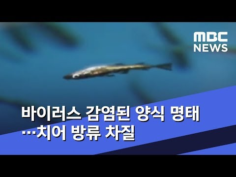 바이러스 감염된 양식 명태…치어 방류 차질 (2019.09.21/뉴스투데이/MBC)