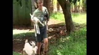 Kauai Community Upset Over The Slaughter Of Pregnant Goat