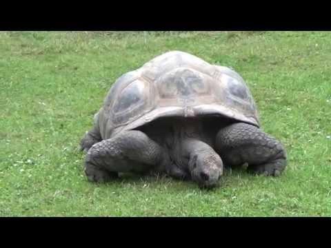צב אלדברה | Aldabra Giant Tortoise (Aldabrachelys gigantea) Prague Zoo