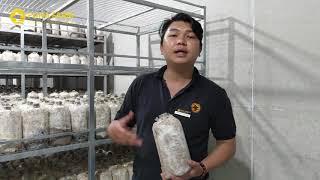 Hướng Dẫn Quy Trình Tham Gia Vệ Tinh Trồng Nấm Mối Đen Fuha Farm | Nông Nghiệp Sạch