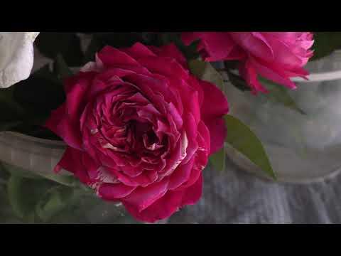 чайно гибридные сорта стойкие к дождю, ветру и солнцу, питомник роз полины козловой rozarium.biz