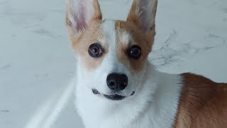 The Welshi Corgi finally reveals her true colors | My Cute Evil dog ♥ Funny dog Video