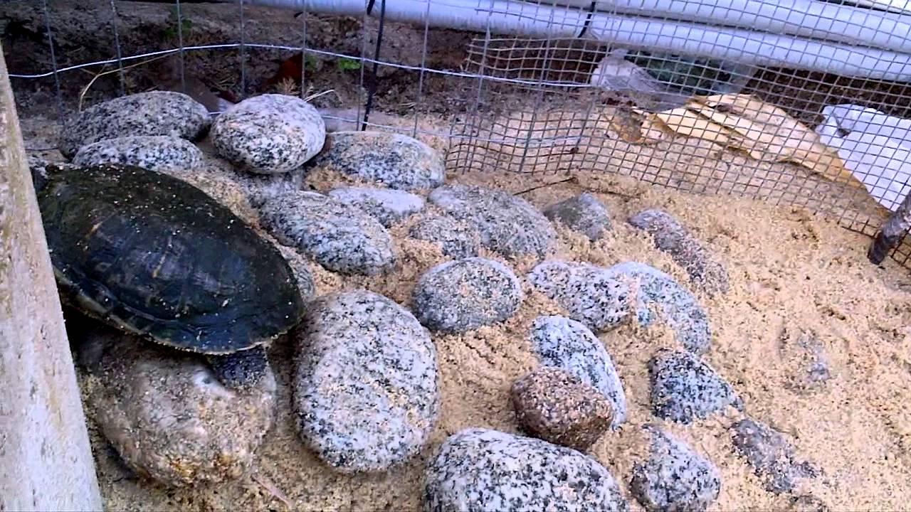 Tartaruga d 39 acqua piccola insieme ad altre tre tartarughe for Tartarughe grandi