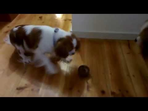 Cavalier King Charles spaniels act as toy prototype road testers & OHS consultants