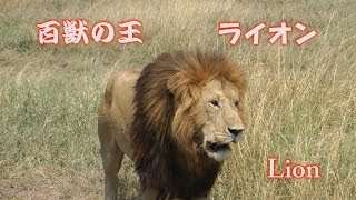 「百獣の王」と言われるライオン、やはり近くで見るとオーラが違います...