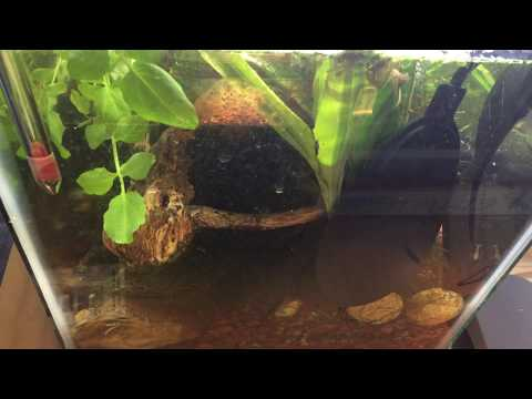 Freshwater Ecosystem Aquarium - Walstad Method