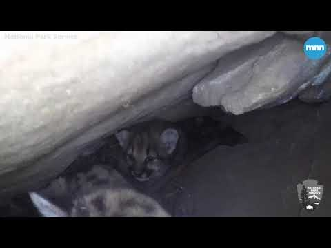 Mountain lion kittens discovered at Santa Monica Mountains National Recreation Area