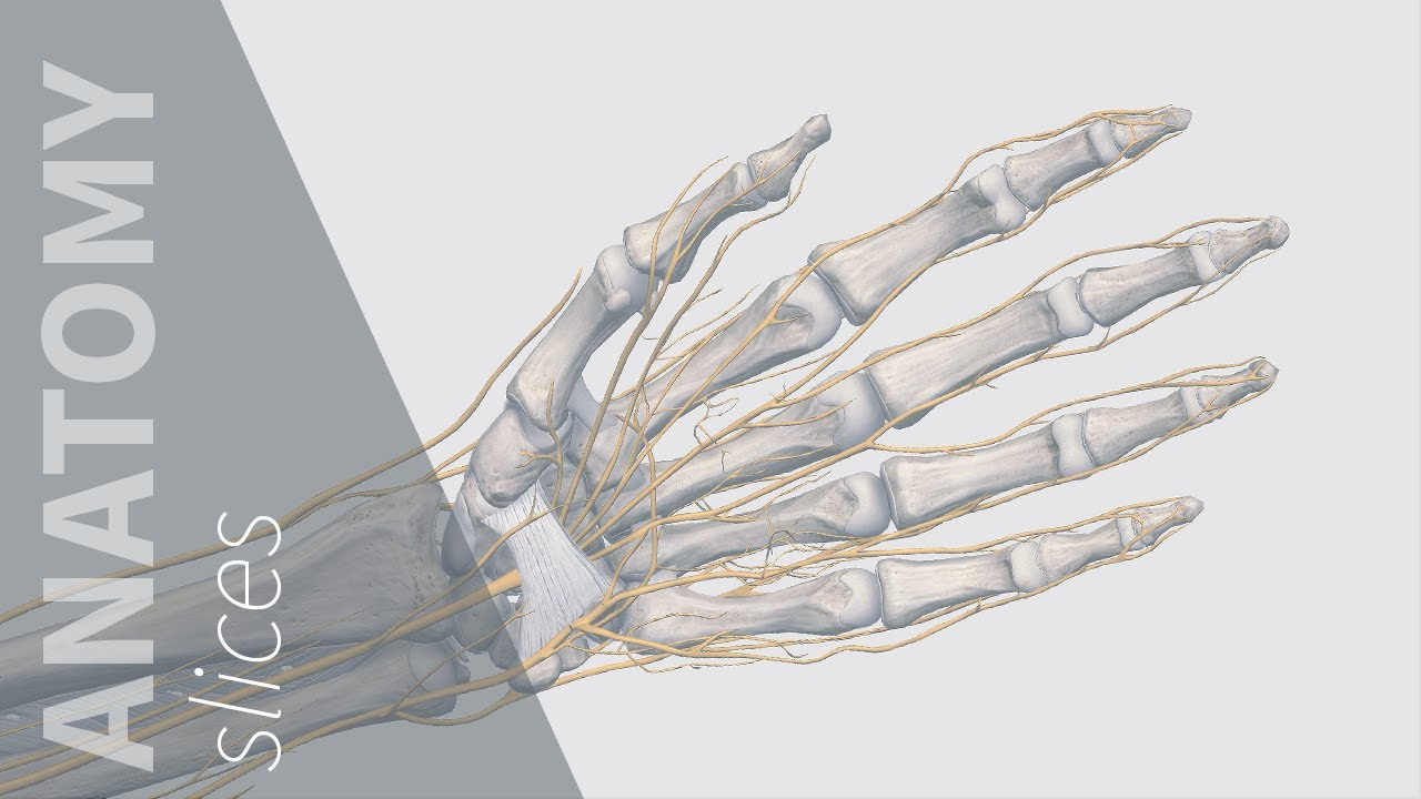 Carpal Tunnel Syndrome | Anatomy Slices - YouTube