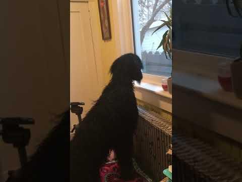 Howard the guard dog Standard Poodle