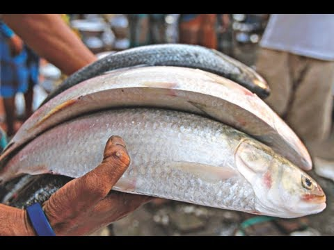 'Hilsa' fish now a certified patented product of Bangladesh