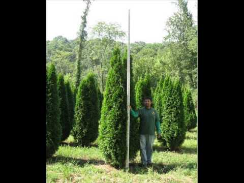 About Hard T Emerald Arborvitae