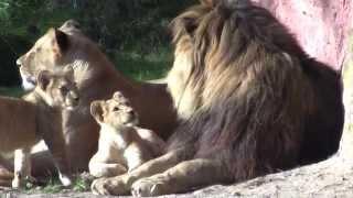 Löwen im Erlebnis-Zoo Hannover