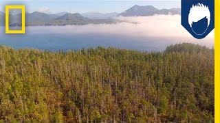 Why It's Important to Protect This Island's 800-Year-Old Trees | National Geographic
