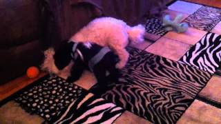 Epic Wrestling Match - Bichon Vs Schnauzer Puppy