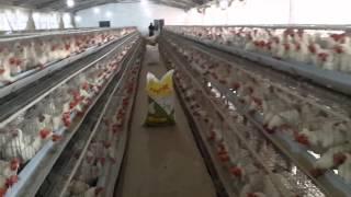 Koshi egg layer farm supaul  (Bihar) India