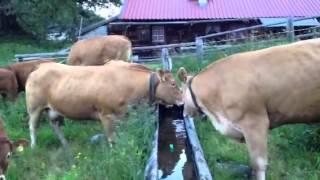 Vaches à l'alpage