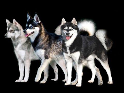 ALASKAN KLEE KAI Razas de perros