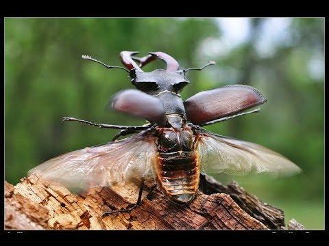 Жужелица Кавказская (лат. Carabus caucasicus)из YouTube · Длительность: 13 мин10 с