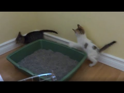 Funny 6 Week Old Foster Kittens Playing