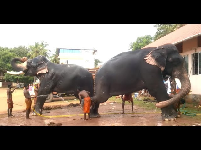 Pambady Rajan and Pambady Sundaran_Kerala Elephant Heroes