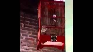 Suara Burung Ciput (ciblek putih) gacor