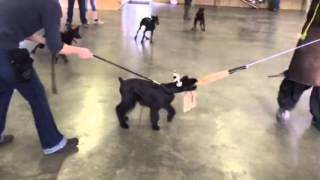 "Giant Schnauzer ""gidget"" Early Protection Training Dog For Sale Non Shedding Guard Dog"