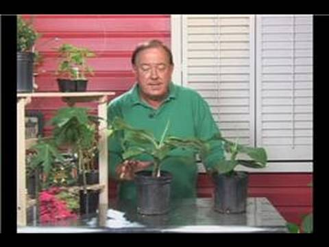 Tropical Plant Care : Care of Banana Plants