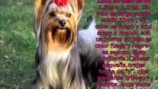 Yorkshire Terrier 1, Chanel Bridget
