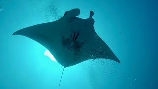 TIGER Shark EATS Manta Ray