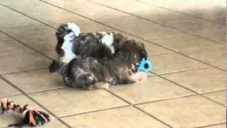 Shih Tzu Bichon Puppies For Sale In Iowa Teddy Bear Puppies Ready.mpg