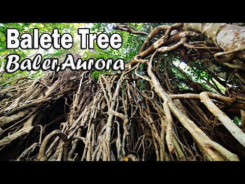 Baler Aurora : The Biggest Balete Tree in Asia    I ♥ TANSYONG TV