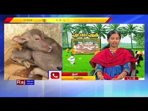 Livestock Farming: Cattle Care Advising By Veterinary Assistant Surgeon Dr. Akhila | Raj News Telugu