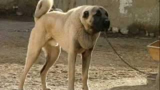 the kangal legend-turkish wolf hunter anatolian shepherd dog.flv