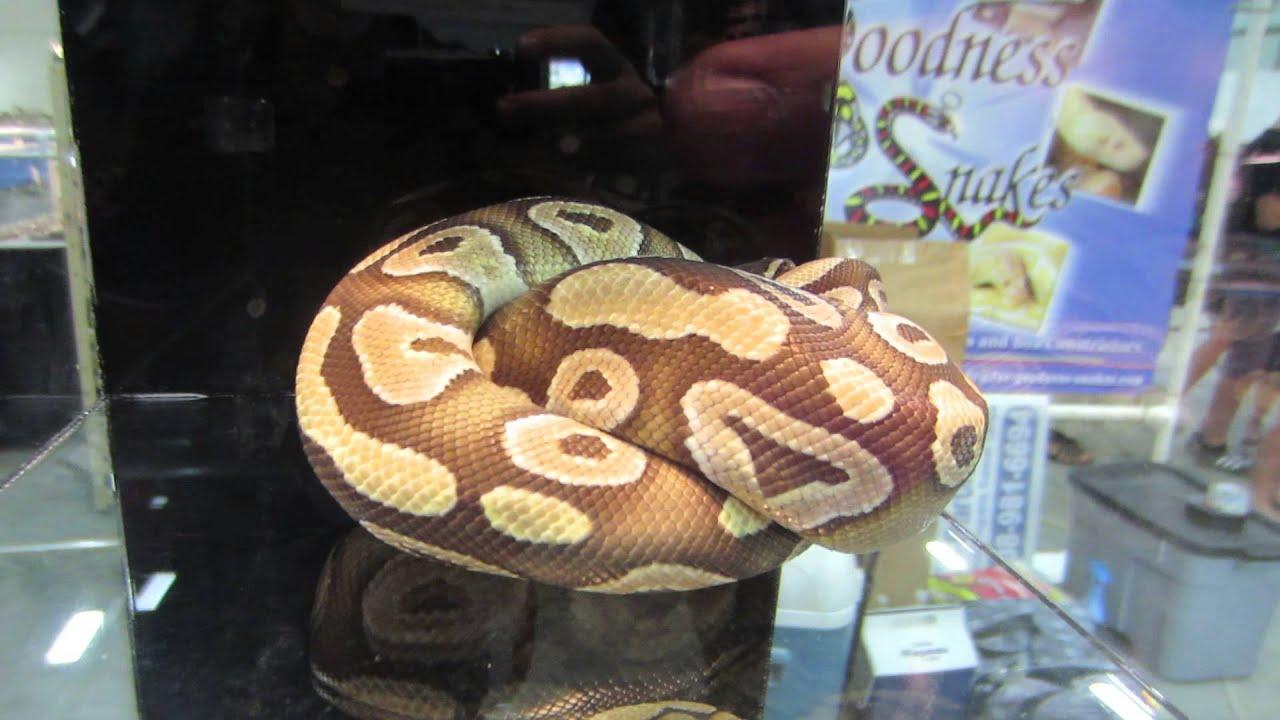 Reptiles Las Vegas