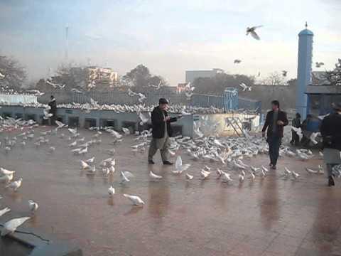 White pigeons in Mazar-i-Sharif