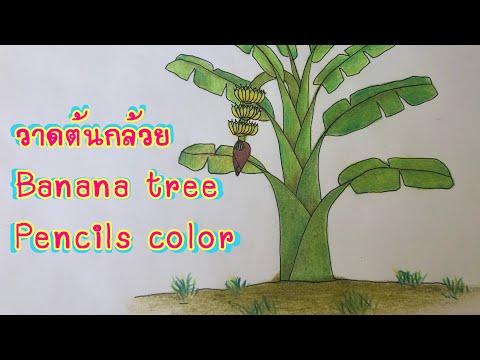 วาดต้นกล้วย Banana tree pencil color