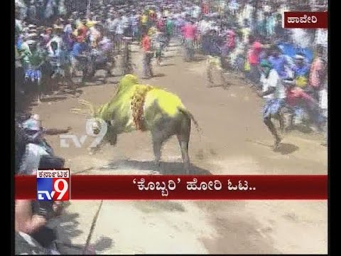 'Kobri Hori' - Bull Catching Sport Draws Huge Crowd in Haveri, Karnataka