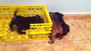 Cachorros De Staffy Peleando Por El Juguete ¿quiÉn Se QuedarÁ Con El Juguete?