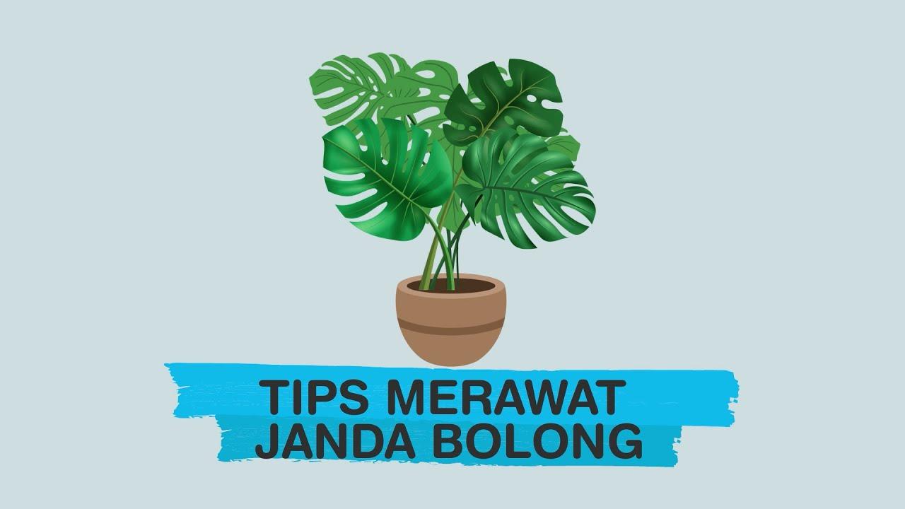 Info Grafis Tips Merawat Janda Bolong Youtube