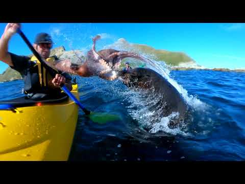 BigKat Kris Stevens - Seal Slaps Kayaker in the Puss with Octopus