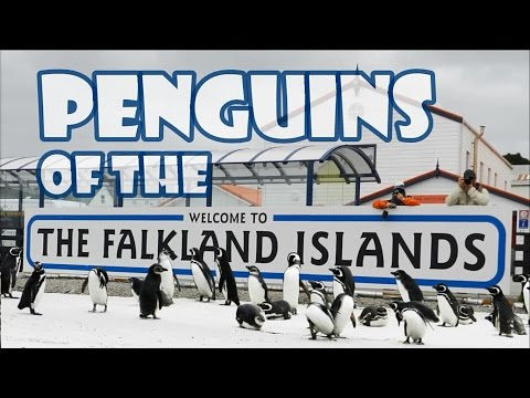 PENGUINS OF THE FALKLAND ISLANDS