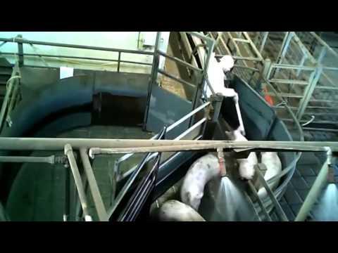 Humane slaughter inside Australian pig slaughterhouses