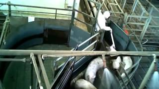 Repeat youtube video Humane slaughter inside Australian pig slaughterhouses