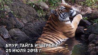 АМУР, ТАЙГА И ШЕРХАН 25 ИЮЛЯ 2018 Г.