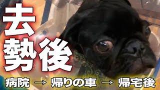 黒パグのパグ男です。 産まれて半年の子犬です。 半年経過したので、去...