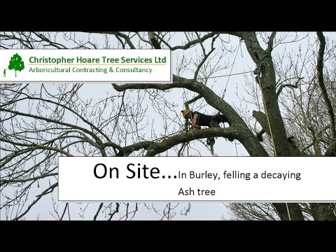 On Site - Burley (for the Forestry Commission) - Felling a decaying, roadside Ash