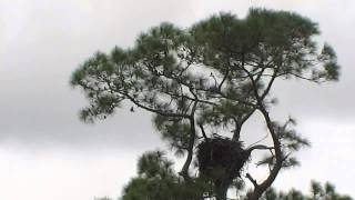 SWFL Eagles_Harriet Spots Something, Both Adults Take Flight 11-25-14